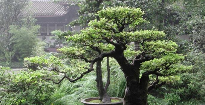 cây thông