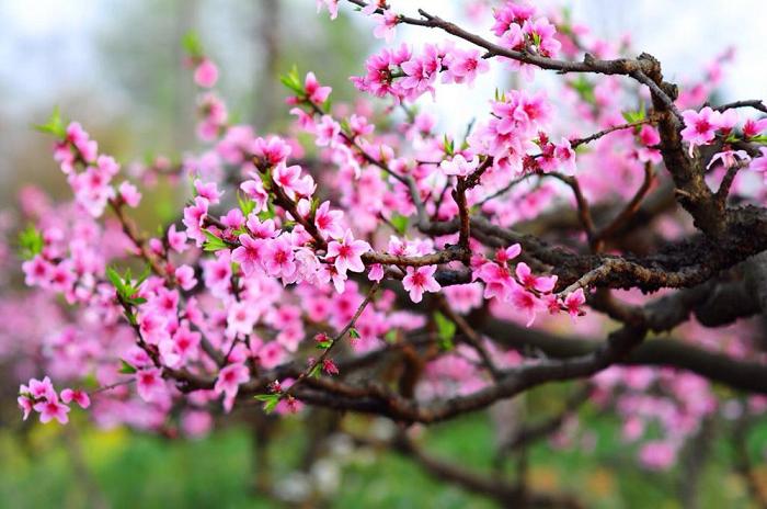Thấy hoa đào là chúng ta sẽ cảm nhận được không khí tết
